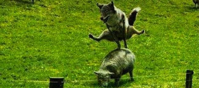 sheep-france-wolf1